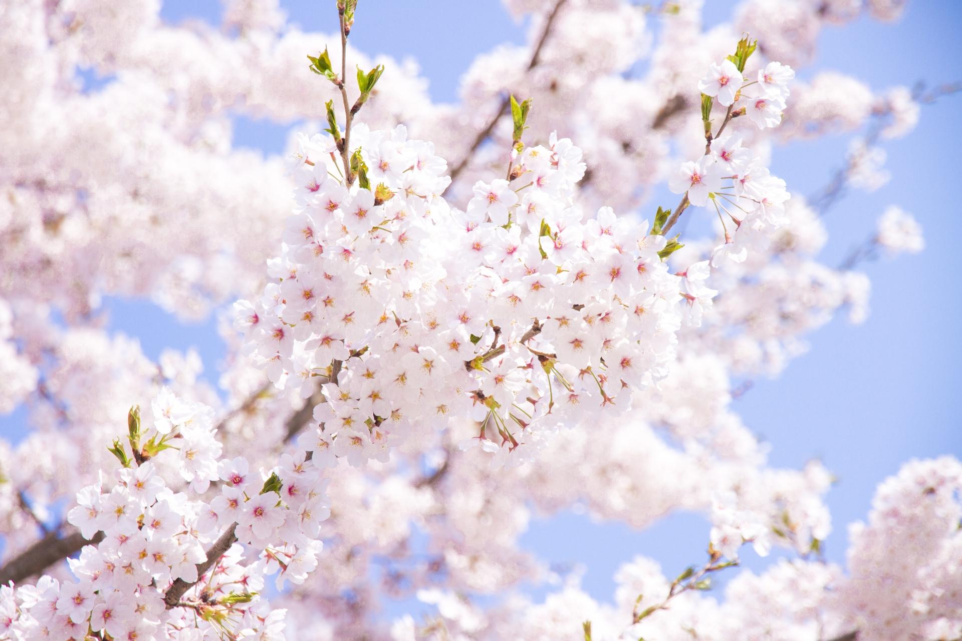 お花見シーズン